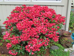 Titian Beauty (dnoc) Tags: rhododendrons