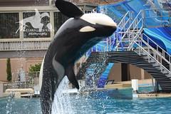 (Megakillerwhales) Tags: california nikon dolphin dolphins whale whales orca beluga seaworld shamu belugas orkid killerwhale orcas killerwhales nakai seaworldsandiego keet babyk shouka kassy kalia orcawhales cetaceans cetacean ulises ikaika shamushow orcawhale corky2 seaworldcalifornia orcashow kasatka shamurocks nalanidreamer megakillerwhales kasatkasnewcalf