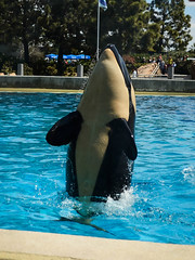 Makani (One-Drop) Tags: show california baby animal animals sandiego dolphin whale orca seaworld calf shamu killerwhale babyk swc cetacean dws babyshamu makani dinewithshamu swsd kasatkascalf