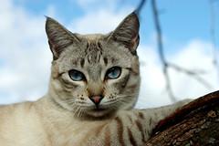 IMGP7655 (EdmilsonFeldmann) Tags: blueeyes whitecat snowcat olhoazul blueeyedcat gatobranco gatodeolhosazuis gatodaneve