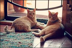 BFFs (K. Sawyer Photography) Tags: door cats animals tabby screen rug