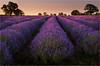 Lavender Dawn (Chris Beard - Images) Tags: flowers summer nature sunrise landscape dawn purple lavender july somersetlavender