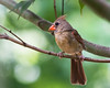 Female Cardinal (Judy Rushing) Tags: bird femalecardinal ridgelandmississippi herowinner