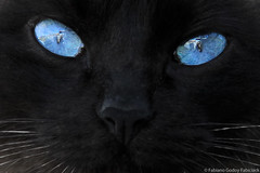 (fabsciack) Tags: eye cat eyes olhos gato cateyes olhosazuis olhosdegatos