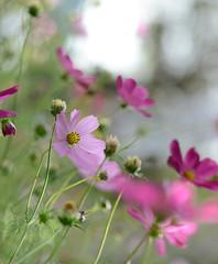 DSC_2748a (Fransois) Tags: flowers fleurs bokeh pastel cosmos