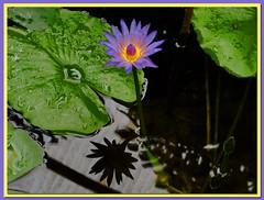 Blue Egyptian water lily /// Lotus bleu (Hlne_D) Tags: park plant france photoshop grenoble plante waterlily jardin nnuphar parc hdr isre rhnealpes hdrpicture lotusbleu nymphaeacaerulea lejardindesplantes photohdr sacredbluelily nnupharbleu planetearthflowers hlned blueegyptianwaterlily