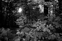 Sun bursting through the trees (Canon Canonet QL17 G-III, Ilford HP5) (baumbaTz) Tags: trees blackandwhite bw tree monochrome analog forest canon germany deutschland blackwhite august ishootfilm ilfordhp5 epson sw hp5 analogue monochrom grayscale g3 rodinal expired schwarzweiss wald bäume canonet ilford ql17 giii analogphotography baum stade greyscale 1100 expiredfilm niedersachsen lowersaxony filmphotography oldfilm fpp canoncanonetql17giii harsefeld ilovefilm v500 semistand adox adonal canoncanonetql17 filmisnotdead 2013 semistanddevelopment analoguephotography istillshootfilm filmforever epsonv500 adoxadonal filmphotographyproject 20130806