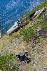 Sage and Dala (Thaddz) Tags: dog fall washington cascades northcascades sennenhund entlebucher entlebuchermountaindog doublegapfarm