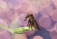 Catching prey........ (aroon_kalandy) Tags: light india macro beautiful asia artistic bokeh sony kerala robberfly lovely calicut kozhikode tamronspaf90mmf28dimacro kenkoet aroonkalandy tamronspaf90mmf28dimacrolens kenkoet20mm aroonkalandytamron