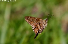 Long-tailed Skipper - Bayou Courtableau, Louisiana (Image Hunter 1) Tags: nature wings louisiana bokeh flight bayou swamp marsh longtailedskipper specanimal canoneos7d bayoucourtableau