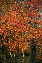Beautiful Invader (wyojones) Tags: trees color tree fall leaves forest woods texas autum houston invader np treeline deciduoustrees invasivespecies nonnativespecies triadicasebifera wyojones cinesetallow