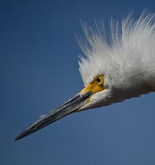 Snowy Egret (nebulous 1) Tags: california ca bird nature fauna nikon explore huntingtonbeach snowyegret bolsachica ecologicalreserve d7000 nebulous1