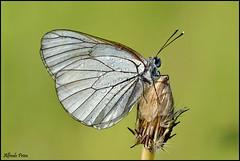 Aporia crataegi (Explore) (alfvet) Tags: macro nikon ngc butterflies natura npc insetti farfalle sigma150 parcodelticino simplysuperb veterinarifotografi d5100