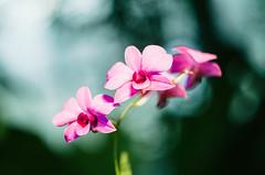 Orchid (DWO630) Tags: orchid bokeh russian helios lewisginter helios44m4 lgbg pentaxk01