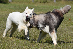 """Chase Says """"OH NO Zarros Gonna Get Me Now!"""" • <a style=""""font-size:0.8em;"""" href=""""http://www.flickr.com/photos/96196263@N07/11217460236/"""" target=""""_blank"""">View on Flickr</a>"""