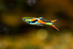 Fish-7186 (Line123a) Tags: male guppy livebearer endlers poeciliaendlers