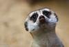 Slender-tailed Meerkat (m_hamad) Tags: park usa macro nature beauty closeup canon mammal zoo dc meerkat farm wildlife explore nationalzoo nationalgeographic slendertailedmeerkat greatnature naturebeauty supershot 60d ultimateshot dazzlingshot blinkagain