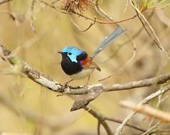 Variegated Fairy-wren (Malurus lamberti) (Kooragindi John) Tags: birds bluemountains wren katoomba australianbirds variegatedfairywren maluruslamberti