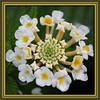 Little White Flower (gtncats) Tags: flower nature whiteflower potofgold