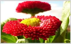 red Daisies - rote Gänseblümchen - Detailaufnahme Zuchtform 'Rob Roy'. Tausendschönchen - Bellis perennis. Angerblume . (eagle1effi) Tags: red flower macro dof panasonic margaret daisy margarita marguerite supermacro gänseblümchen rote margarite margerite oxeyedaisy leucanthemumvulgare telemacro 15x zs30 reisezoom travelzoom tz40 dmctz41 travellerzoom travelerzoom tz41macro tz41 panasoniclumixdmctz41 kleinemargariten kleinemargaritenleucanthemumvulgare