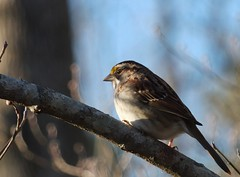 White-throated sparrow (Castilleja19) Tags: virginia williamsburg whitethroatedsparrow zonotrichiaalbicollis
