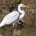 GreatEgret_65K8793_4x6 copy