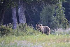 Opazovanje (natalija2006) Tags: bear brown nature wildlife slovenia slovenija ursus medved narava arctos rjavi