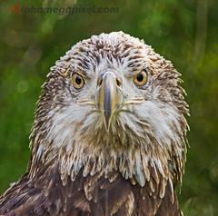 The look.. (alphamegapixel) Tags: male zoo minolta eagle sony baldeagle bald f45 raptor jacksonville alpha juvenile titus a77 400mm 14tc alphamegapixel alphamegapixelcom
