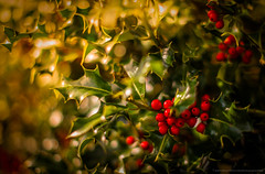 Holly berries - DSC_3100.jpg (PowderPhotography) Tags: christmas xmas winter sunset red holiday 50mm nikon shiny berries f14 14 holly nikkor 2014 d700
