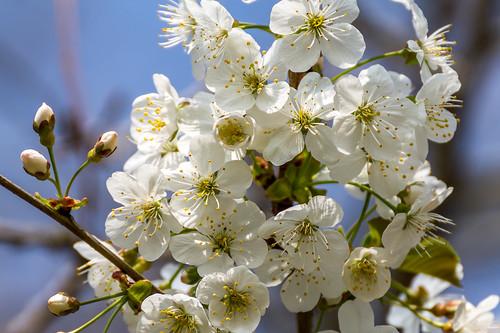 Prunus spinosa - Trnka obecná-2