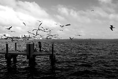 Flock of Seagulls (@GamezFrank) Tags: blackandwhite seagulls blancoynegro water monochrome birds mono pier blackwhite florida miami grayscale greyscale biscayne bayfront biscaynebay bayfrontpark downtownmiami