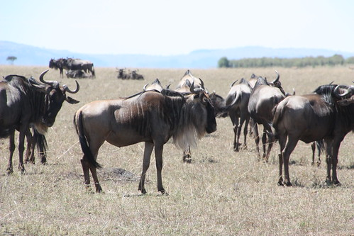 Herd of African Wildebeest