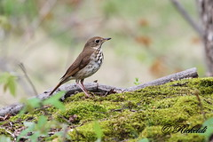 Grive solitaire - Hermit Thrush (ricketdi) Tags: ngc hermitthrush catharusguttatus grivesolitaire avianexcellence coth5