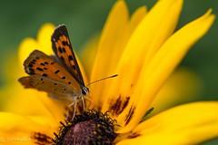 2015 Common Copper #1 (Yorkey&Rin) Tags: summer macro japan butterfly july olympus neighborhood  rudbeckia kanagawa rin kawasaki 2015  em5 commoncopper    olympusm60mmf28macro pc236584