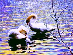 swans (Sonja Parfitt) Tags: blue tree water gold photomanipulated lostlagoon layered