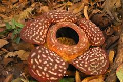 Rafflesia, Mt. Kinabalu NP, Borneo, Malaysia