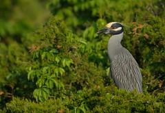 Yellow Crowned Night Heron (Mark Schwall) Tags: heron birds newjersey nikon nj perched manualfocus rookery southernnewjersey breedingplumage yellowcrownednightheron nyctanassaviolacea wadingbirds heronry d300s nikkor600mmf4ais