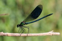 Banded Demoiselle (Animal Al 18) Tags: uk macro insect 50mm suffolk bokeh entomology depthoffeild odonata zygoptera damselfy bandeddemoiselle calopteryxsplendens extentiontubes cavenhamheath canon70d