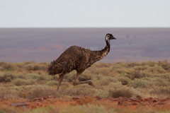 Running Emu (Byron Taylor) Tags: emu northernterritory nt sa southaustralia australia outback birds wildlife storm lightening thunder canon7d canon