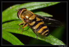 Syrphus vitripennis femelle (cquintin) Tags: arthropoda diptera syrphidae syrphus vitripennis