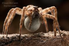 Dolomedes tenebrosus (Sean McCann (ibycter.com)) Tags: dockspider dolomedestenebrosus pisauridae eggsac