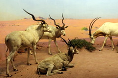 NYC - AMNH: Akeley Hall of African Mammals - Libyan Desert (wallyg) Tags: addax akeleyhallofafricanmammals americanmuseumofnaturalhistory amnh hallofafricanmammals libyandesert manhattan museum newyork newyorkcity ny nyc oryx saharaoryx scimitaroryx scimitarhornedoryx screwhornantelope upperwestside uws whiteantelope diorama