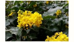Mahonia Strauch blüht - Samsung Galaxy S7 - SOOC (eagle1effi) Tags: mahonia yellow flowering s7 sooc sportsmode bonlanden filderstadt herma regionstuttgart eagle1effi