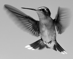 humming bird (tree-razzo) Tags: bw birds animals hummingbird