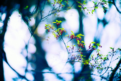 If we want things to stay as they are, things will have to change (moaan) Tags: life leica green 50mm spring dof bokeh may f10 momiji japanesemaple utata aomori hirosaki sprung  m9 2013 inlife  leicanoctilux50mmf10 leicam9 noctilu