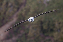 Grkindad Albatross (niklasphoto.se) Tags: ocean bird nature canon offshore wildlife seabird albatross fglar