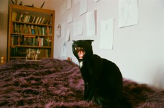 Yawn (thatgingerthere) Tags: sleeping blackandwhite cute london film animals tongue cat 35mm blackcat paper fur photography nikon purple kodak teeth yawn cream fluffy books whiskers egyptian fangs bookcase depth yawning londonuk sphynxcat pointedears artistsontumblr