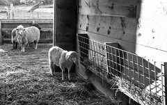 random scans (Underground-Ian) Tags: blackandwhite film animals blackwhite farm capecod massachusetts ishootfilm livestock bwfp artistsontumblr photographersontumblr originalphotographers