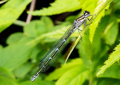 Female Azure Damselfly - blue form (Chalto!) Tags: home garden insect fly dragonfly azure hampshire damselfly hythe odonata
