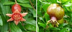 Japanese Persimmon (beautyinature4me) Tags: flower fruit wildflowers texashillcountry japanesepersimmon diospyroskaki ebenaceae may2013